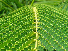 Green Fern Uploaded on January 29, 2005 by Cyron on Flickr
